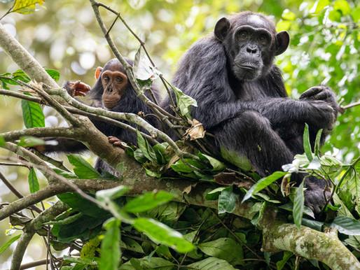 Projet Tea Saves the Chimps