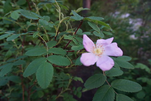A beautiful wild rose in an Edmonton forest