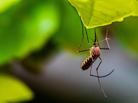 Mosquito Meditation