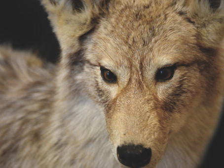 Coyote Poo and You: Mining Meaning From the Mundane