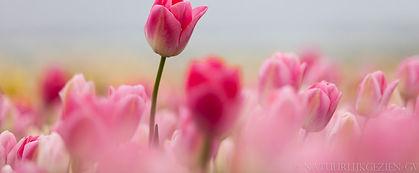 Lente-roze tulp.jpg