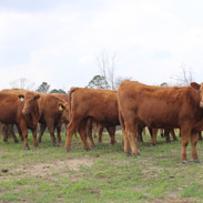 379 Cattle