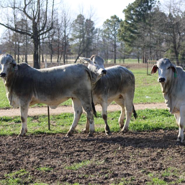 Milam Cattle Open Brahman Heifers