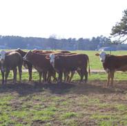 Milam Cattle