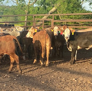 Campbell Cattle