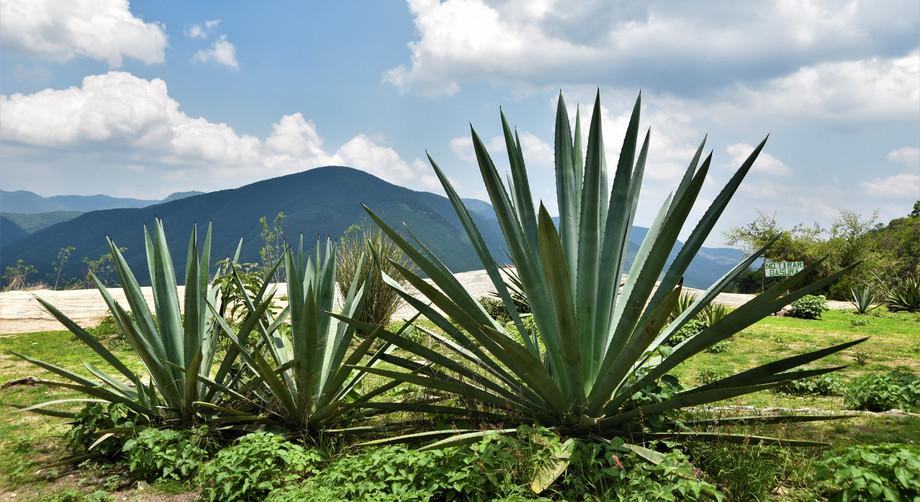 Cactus Mexique .JPG