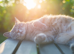 CANS-Solar-Dermatitis-in-Cats-283581704.