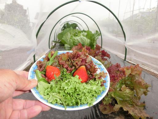 ゆったり菜時記-7 収穫の季節へ 先ずは葉もの、イチゴから