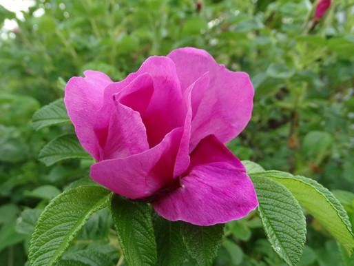 ハマナスの花が咲く季節へ