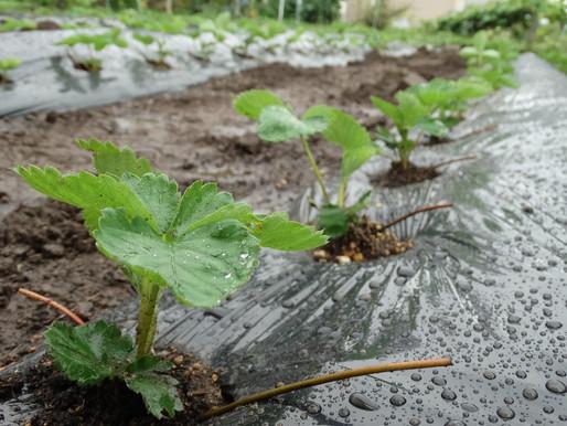 イチゴの苗の植え付け