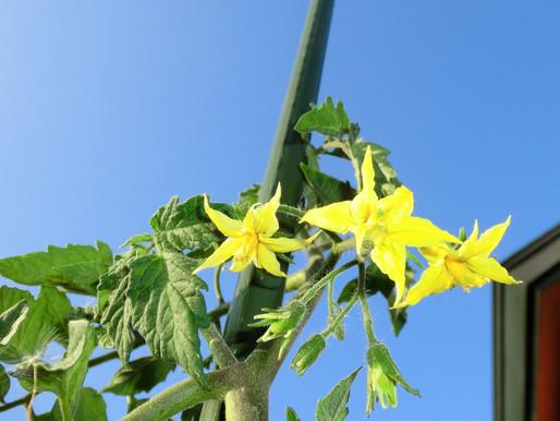 ゆったり菜時記-6 6月の青空 太陽を浴び苗ぐんぐん成長