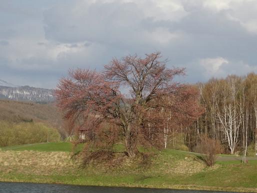 一本桜が咲くよ東川町郊外大雪遊水公園