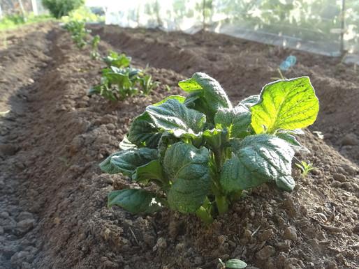 野菜の植え付け作業で日焼け 田舎の爺さんらしくなりましたよ