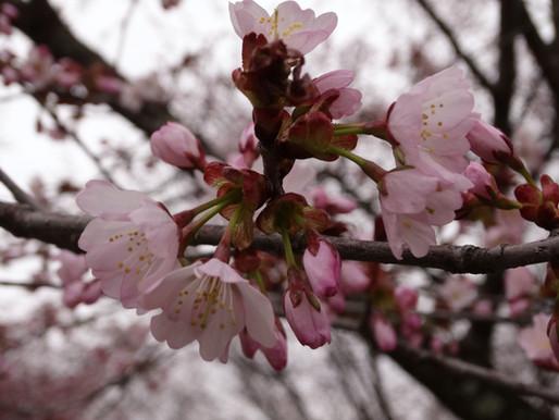 暦は5月へ 桜が咲く 農業用水が流れ始める