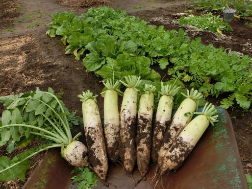 ゆったり菜時記-15 冬大根の収穫 種から70日 太く真っ白