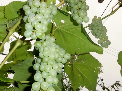 ゆったり菜時記-11 ブドウの秋だよ~ 感謝の施肥が実り招く