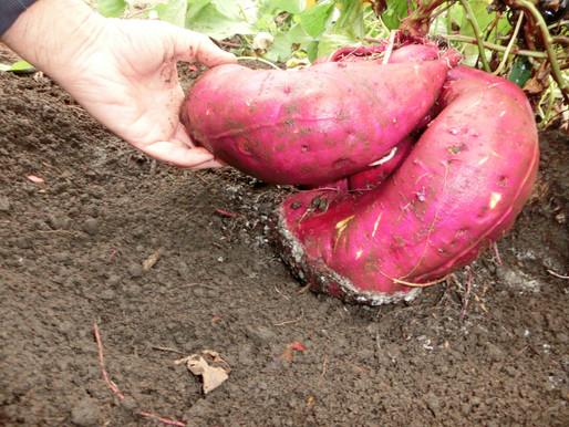 ゆったり菜時記-14 サツマイモの収穫 ふとっちょ「う・ま・い」