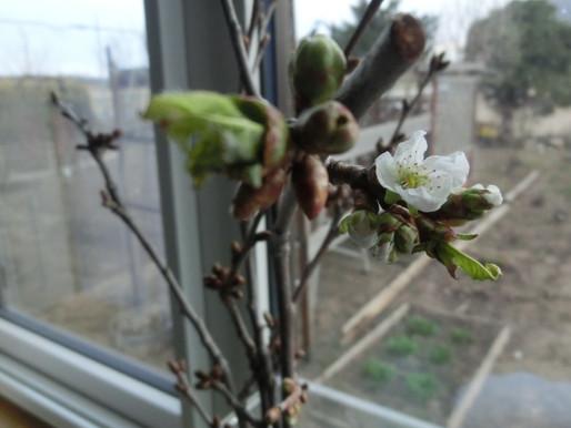春日和 水芭蕉が芽吹き 室内の桜咲く