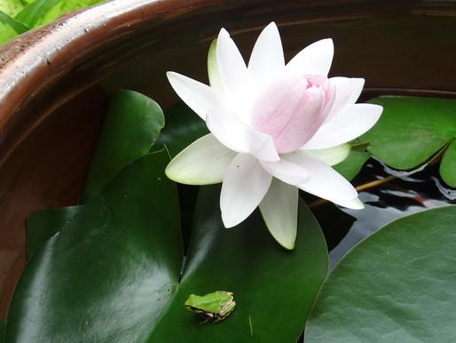 カエルに乗って里帰り? ハスの花が咲いた盆の入り