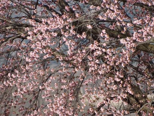 遊水公園一本桜が満開 山菜取り季節へ