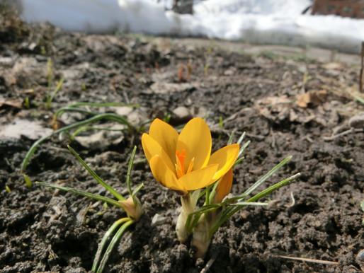 東川町郊外も春へ クロッカスと福寿草が咲いた