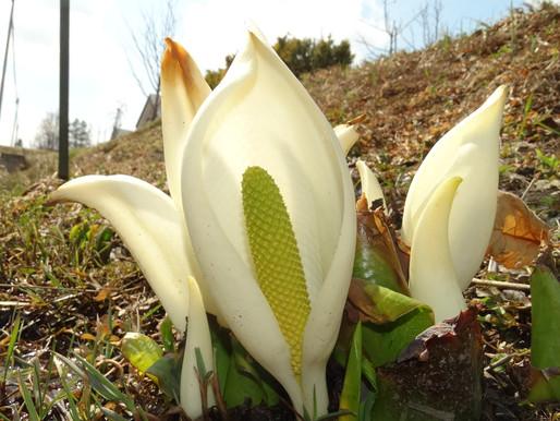 水芭蕉の花が咲いたよ 今年も我が家の庭のかたすみに・・・