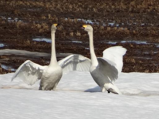 白鳥飛来 今年も東川町にやって来た2021