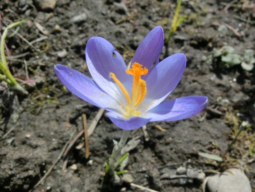 東川町郊外雪どけ進み春の花が咲き始めました