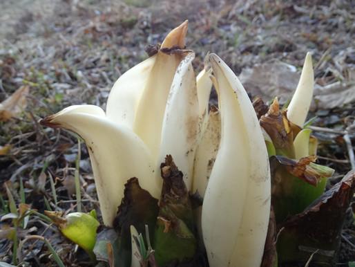 東川町郊外に咲く水芭蕉の花 今年も庭に芽吹きました