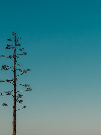 Agave Fleurs Algarve Carrapateira