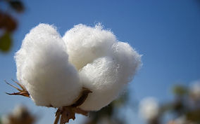 cotton-boll.jpg