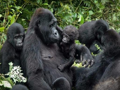 Scienza in pillole: gorilla, cornacchie ed enzimi ecologici