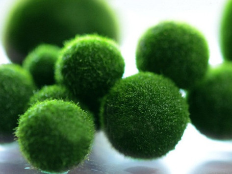 MARIMO: un'alga per amica (anche in tempo di lockdown)