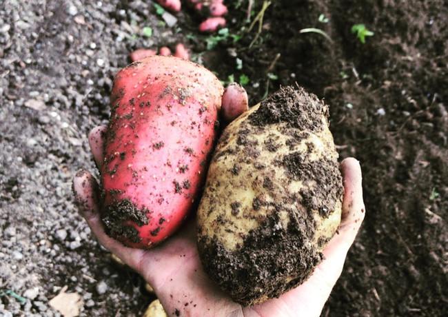 perma terra garten kartoffeln
