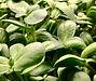 Sunflower microgreen