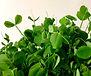 Organic Pea microgreen