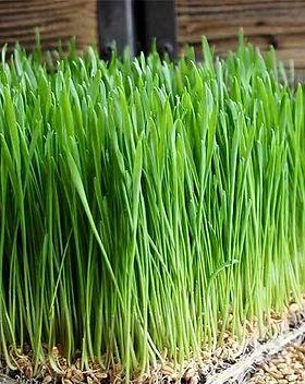 Wheat Grass.jpeg