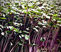 Red Cabbage microgreen