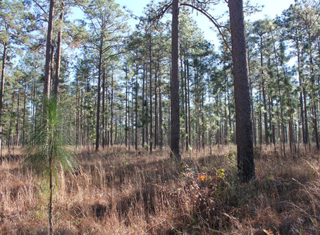 New Paper Brief: longleaf pine recruitment rates