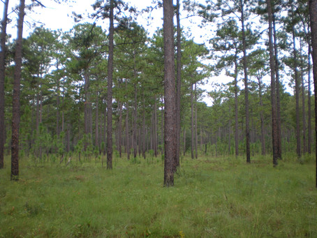 New Paper Brief: site preparation for longleaf pine restoration