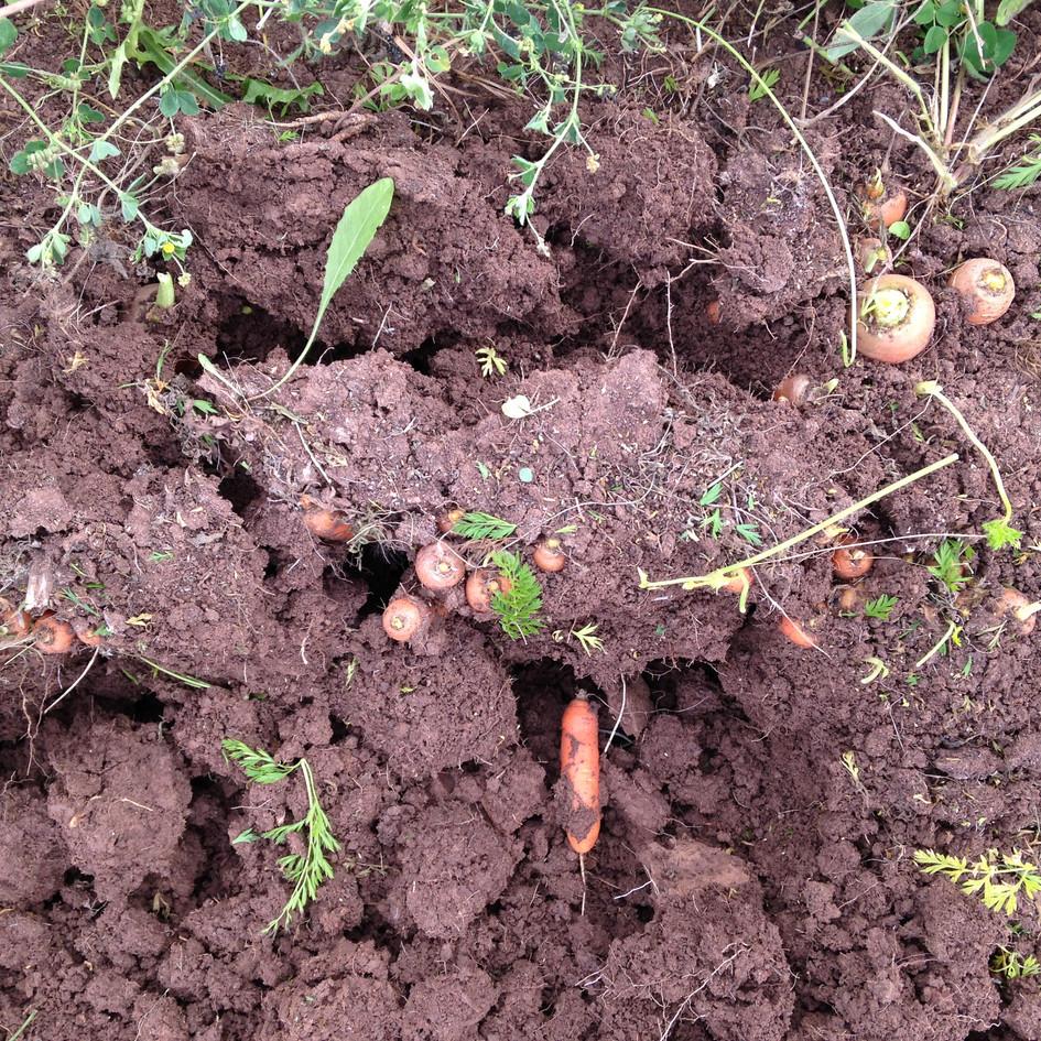 CarrotsinGround.JPG