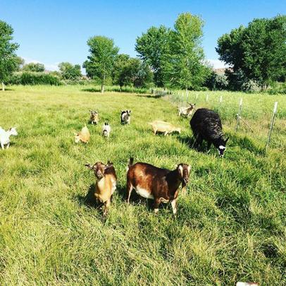 goatsinfield.png