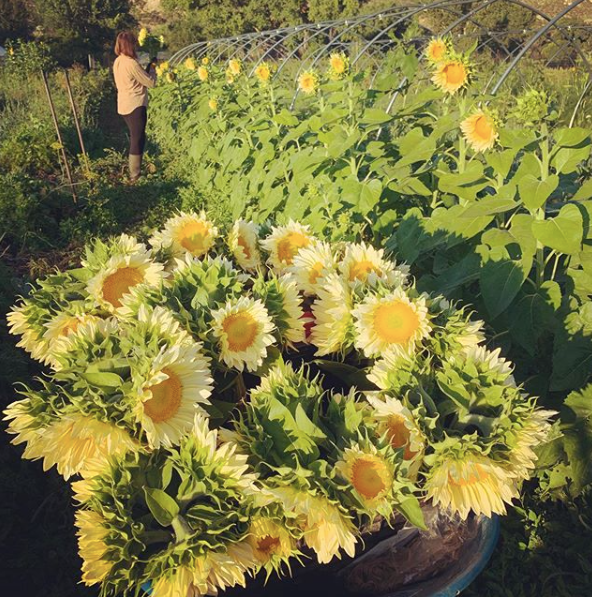 sunflowerrows.png