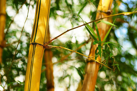 bamboo-forest-background-GKX52EW.JPG