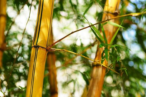 bamboo-forest-background-GKX52EW.JPG