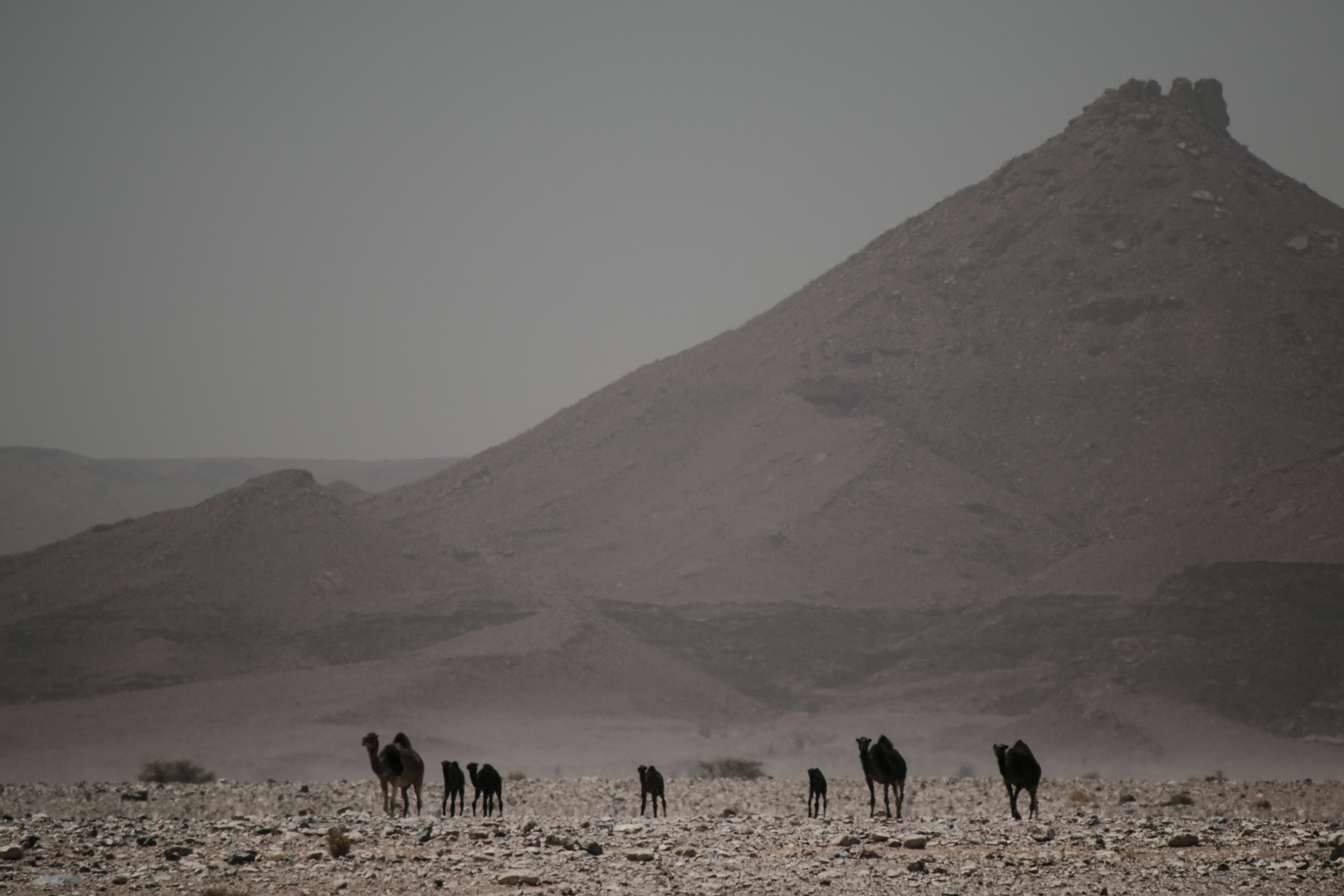 Camels and tagine