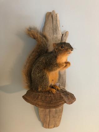 Fox squirrel 6