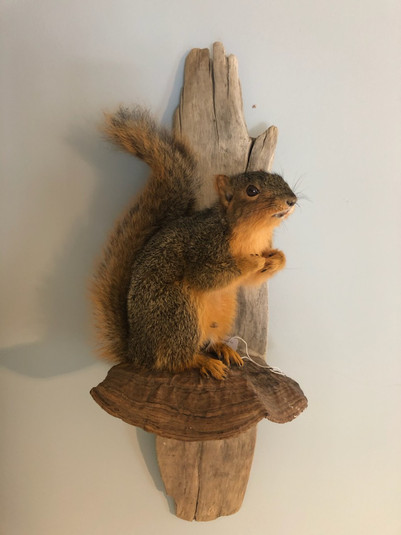 Fox squirrel 6