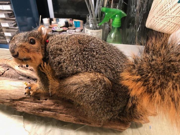 Fox Squirrel 4