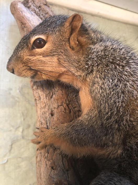 Fox Squirrel 1
